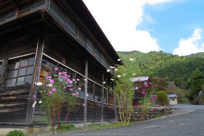 京都美山,かやぶきの里,コスモス(IMGP1160,15mm,F8,KS1)2014yaotomi_.jpg