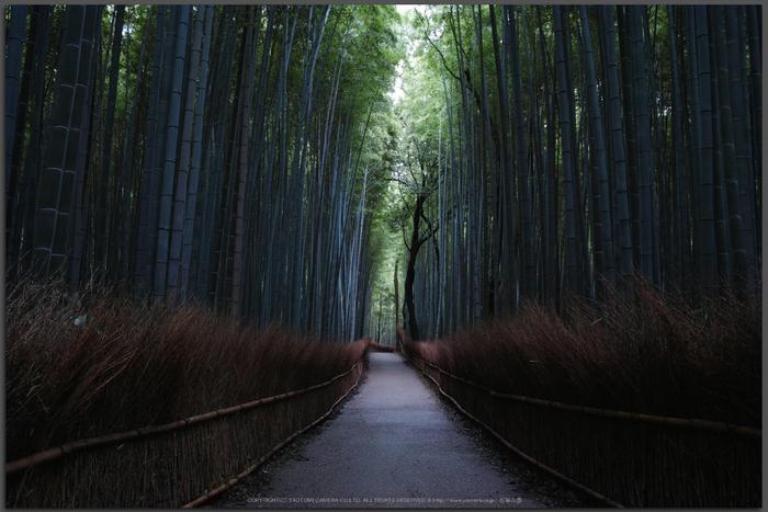 嵯峨野,竹林の小径(DP1Q0068,F5.6,dp1Q,Top)2014yaotomi_.jpg