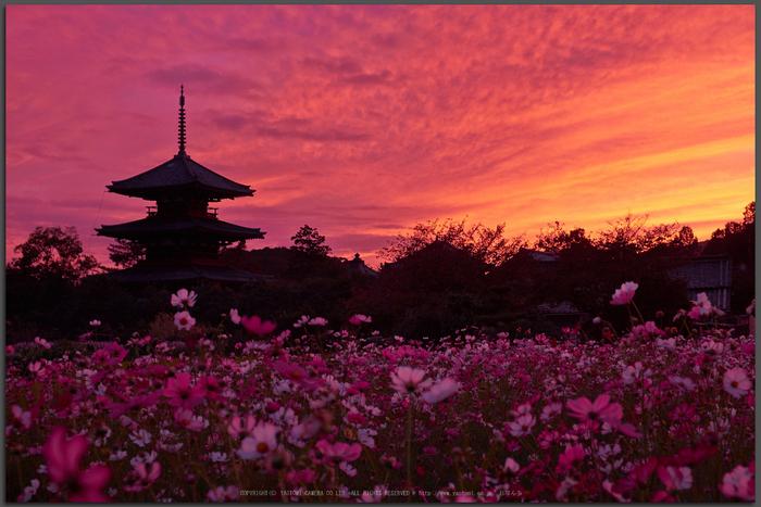 法起寺,コスモス,夕景(DSCF8349,XT1,Top)2014yaotomi_.jpg