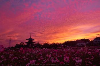 法起寺,コスモス,夕景(DSCF8350,18mm,F6.4,XT1)2014yaotomi_.jpg