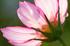 藤原宮跡,コスモス(PA080176,60mm,F5,EM1)2014yaotomi_ (1) .jpg