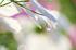 藤原宮跡,コスモス(PA080234,60mm,F4.5,EM1)2014yaotomi_ (1) .jpg