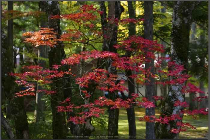 高野山,紅葉(P1000401,F2.8,LX100,Top)2014yaotomi.jpg