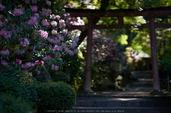 岡寺,石楠花(DSCF5724,F1.4,56)2014yaotomi_.jpg