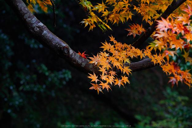 岡寺,紅葉(PB260041,95mm,F3.2,EM1)2014yaotomi_.jpg