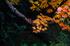 岡寺,紅葉(PB260041,95mm,F3.2,FULL)2014yaotomi_.jpg