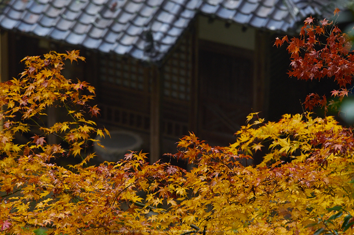 岡寺,紅葉(PB260072,150mm,F4.5,EM1)2014yaotomi_.jpg