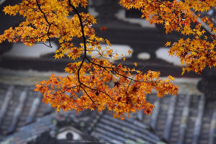 岡寺,紅葉(PB260078,150mm,F3.5,EM1)2014yaotomi_.jpg