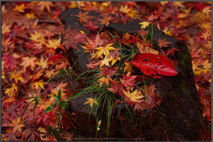 岡寺,紅葉(PB260104,Top)2014yaotomi_.jpg