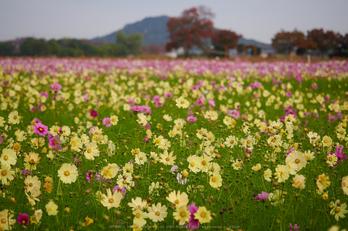談山神社,紅葉(PB080284,40mm,F2.8,EM1)2014yaotomi.jpg