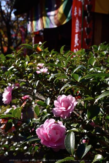 長谷寺,紅葉(DSC_1124,38mm,F11,D750)2014yaotomi.jpg