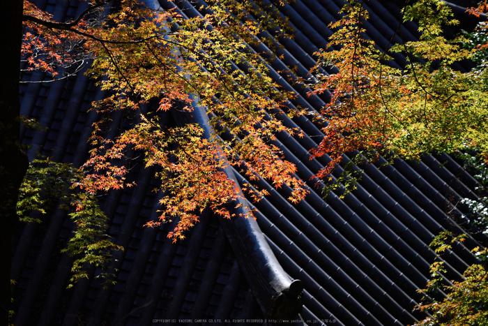 長谷寺,紅葉(DSC_1146,200mm,F5,D750)2014yaotomi.jpg