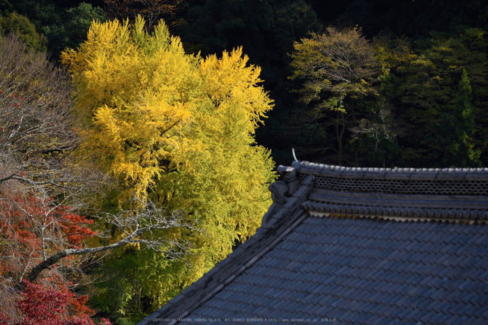 長谷寺,紅葉(DSC_1233,170mm,F5,D750)2014yaotomi.jpg