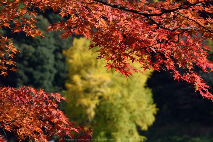 長谷寺,紅葉(DSC_1269,175mm,F14,D750)2014yaotomi.jpg