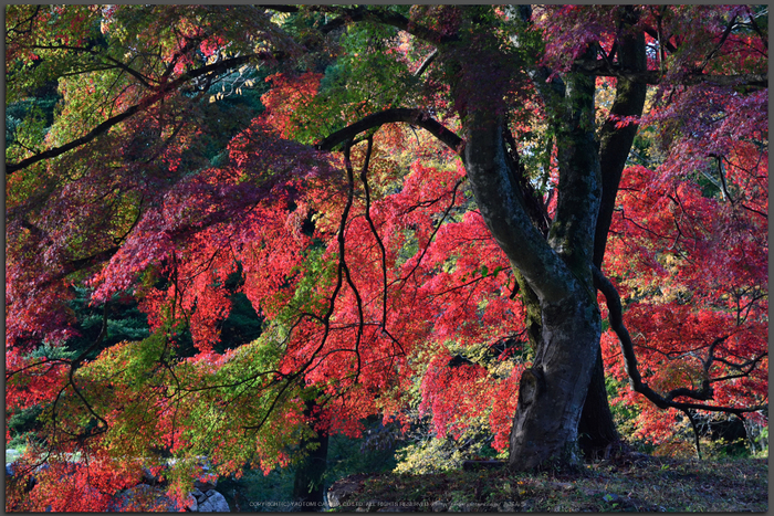 高取城跡,紅葉(DSC_0436,Top)2014yaotomi.jpg