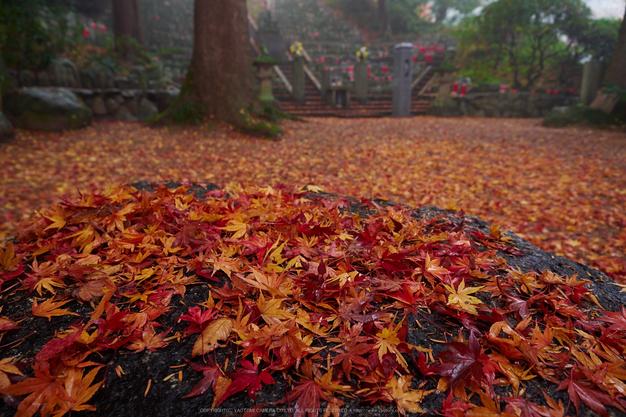九品寺・紅葉(PB290029,12mm,F3.5,EM1)2014yaotomi_.jpg