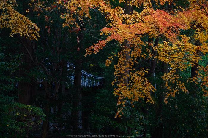 九品寺・紅葉(PB290063,40mm,F3.5,EM1)2014yaotomi_.jpg
