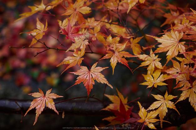 九品寺・紅葉(PB290082,36mm,F3.5,EM1)2014yaotomi_.jpg