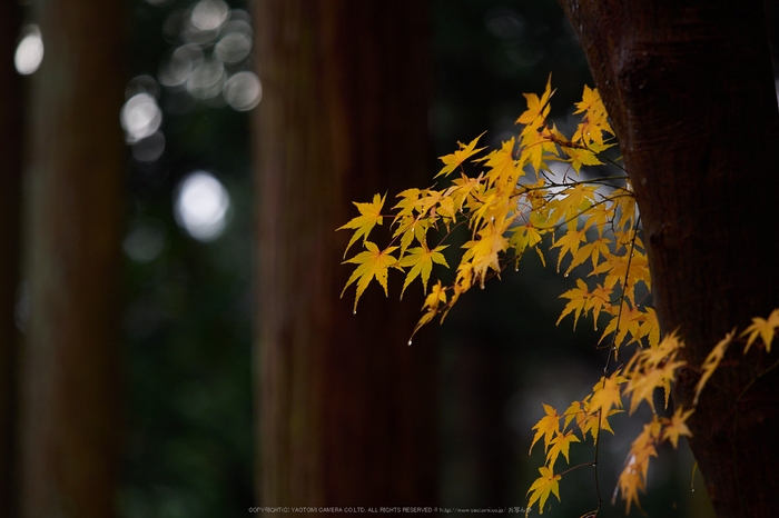 九品寺・紅葉(PB290106,150mm,F2.8,EM1)2014yaotomi_.jpg