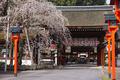 京都,平野神社,しだれ桜(DP3Q0595,4,50 mm,FULL)2015yaotomi_ 1.jpg