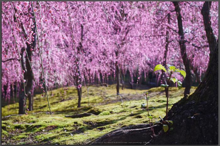 城南宮,梅花(KS2_0965,43-mm,f-6.3,Top)2015yaotomi_.jpg