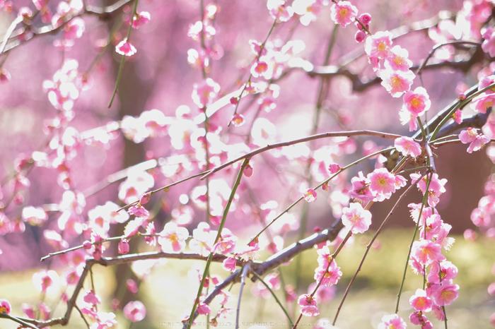 城南宮,梅花(KS2_0977,180 mm,f-6.3,KS2)2015yaotomi_.jpg
