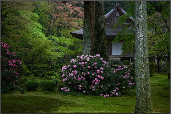 三千院,石楠花(P9710693,30-mm,F2.8,DMC-GX7t)2015yaotomi.jpg