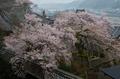 吉野,本善寺,桜(PK3_1548,31 mm,6.3,K3_F)2015yaotomi_.jpg