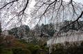 奈良,九品寺,桜(PK3_1231,18 mm,F2,K3_F)2015yaotomi.jpg