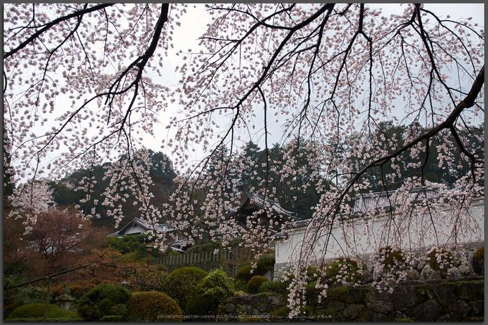 奈良,九品寺,桜(PK3_1231,18 mm,F2,K3_T)2015yaotomi.jpg