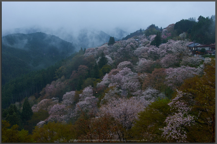 奈良吉野山,桜(PK3_1793,21-mm,F5.6_K3_Top)2015yaotomi.jpg