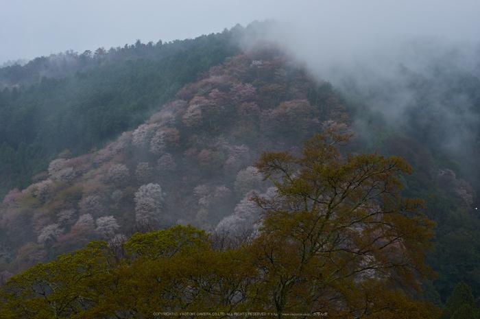 奈良吉野山,桜(PK3_1799,35 mm,F6.3_K3)2015yaotomi.jpg