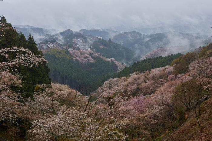 奈良吉野山,桜(PK3_1850,35 mm,F6.3_K3)2015yaotomi.jpg