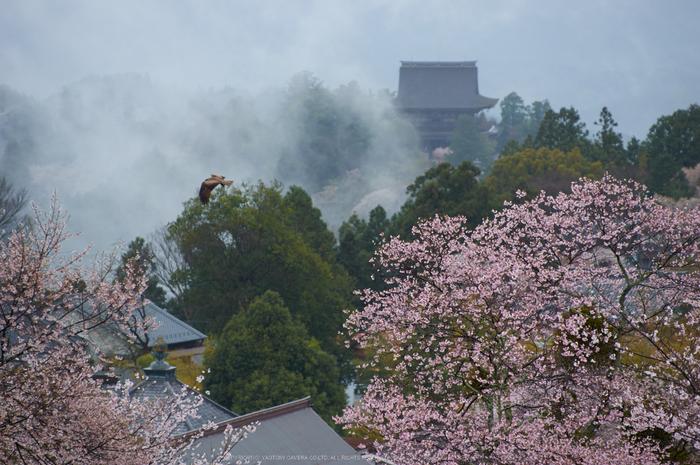 奈良吉野山,桜(PK3_1875,135 mm,F3.2_K3)2015yaotomi.jpg