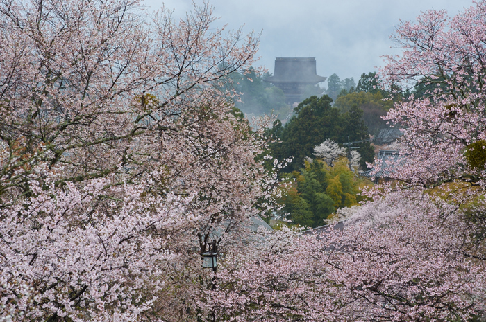 奈良吉野山,桜(PK3_1900,95 mm,F5.6_K3)2015yaotomi.jpg