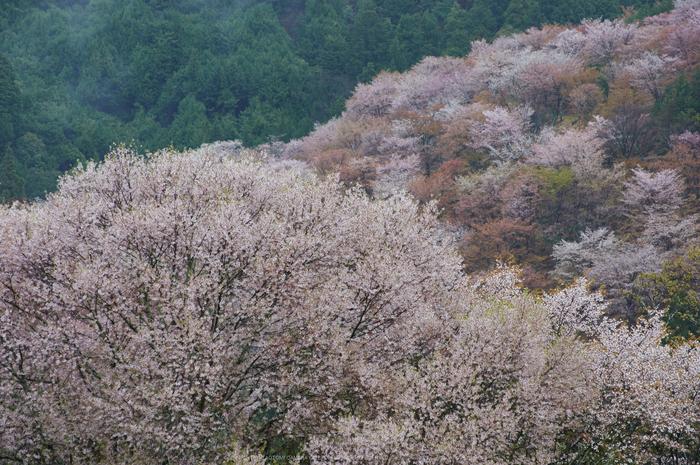 奈良吉野山,桜(PK3_1911,108 mm,F5_K3)2015yaotomi.jpg