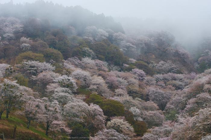奈良吉野山,桜(PK3_1952,65 mm,F6.3_K3)2015yaotomi.jpg
