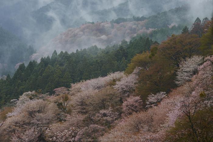 奈良西吉山,桜(PK3_1856,90 mm,F6.3_K3)2015yaotomi.jpg