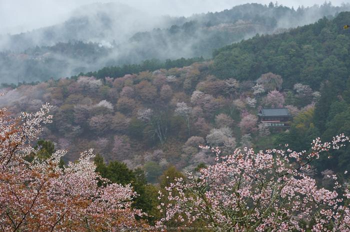 奈良西吉山,桜(PK3_1942,75 mm,F6.3_K3)2015yaotomi.jpg