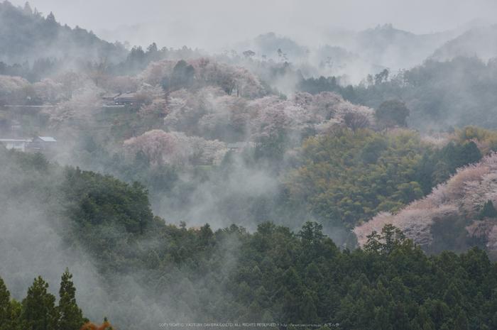 奈良西吉山,桜(PK3_1972,135 mm,F6.3_K3)2015yaotomi.jpg