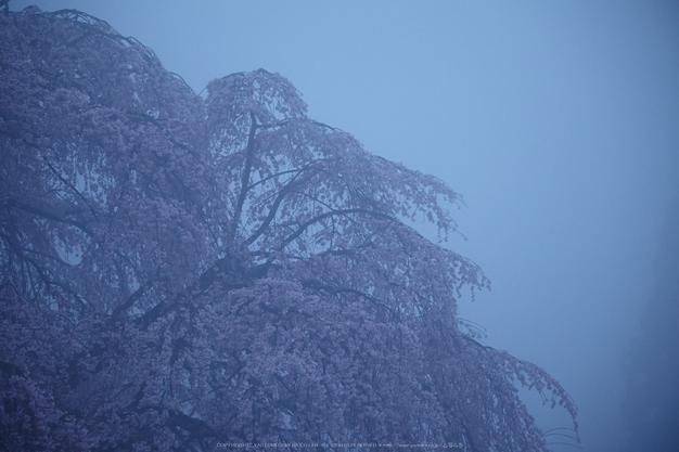 奈良西吉野,桜(IMG_7935,157 mm,F5_5DII)2015yaotomi.jpg