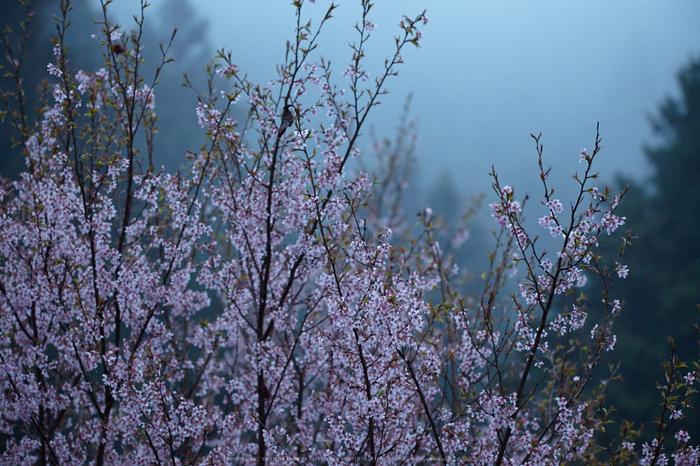 奈良西吉野,桜(IMG_7948,200 mm,F5.6_5DII)2015yaotomi.jpg