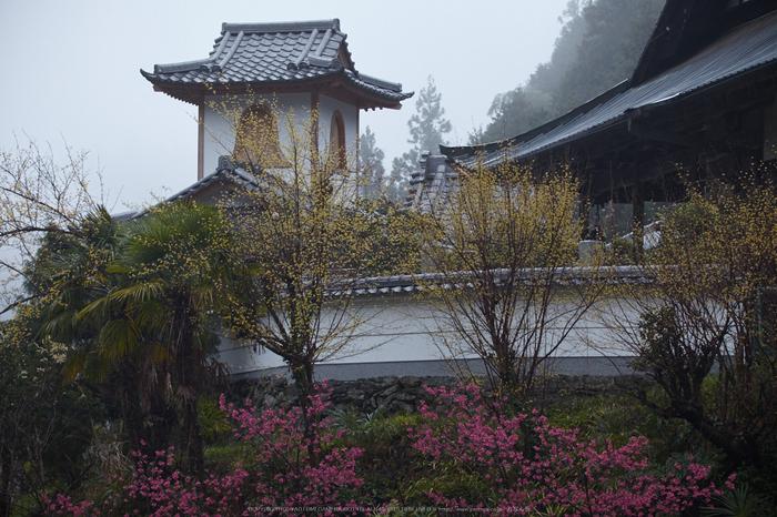 奈良西吉野,桜(IMG_7963,150 mm,F6.3_5DII)2015yaotomi.jpg