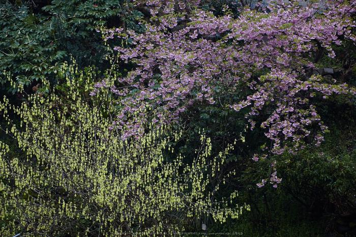 奈良西吉野,桜(IMG_7965,200 mm,F8_5DII)2015yaotomi.jpg