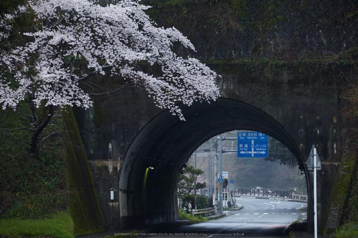 奈良西吉野,桜(IMG_7978,215 mm,F6.3_5DII)2015yaotomi.jpg