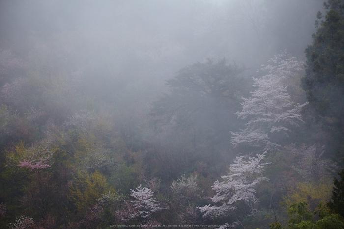 奈良西吉野,桜(IMG_7988,205 mm,F7.1_5DII)2015yaotomi 1.jpg