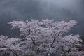 奈良西吉野,桜(IMG_7998,150 mm,F6.3,5DII,F)2015yaotomi_.jpg