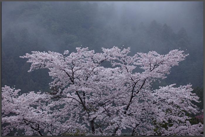 奈良西吉野,桜(IMG_7998,150-mm,F6.3_5DII,t)2015yaotomi.jpg