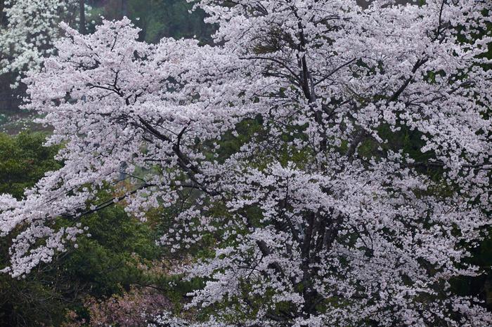 奈良西吉野,桜(IMG_8012,221 mm,F7.1_5DII)2015yaotomi.jpg