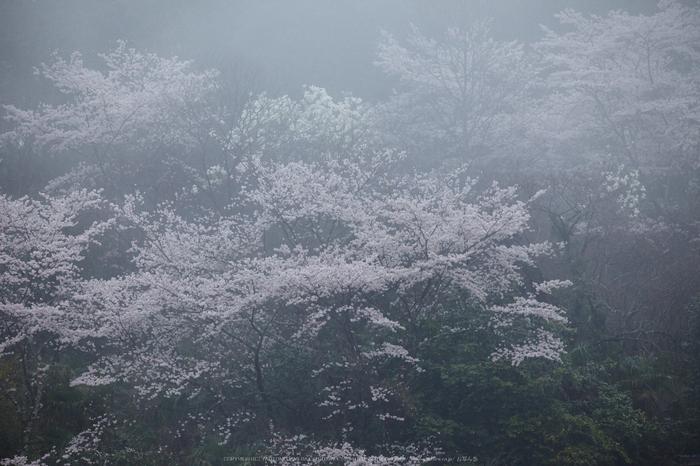 奈良西吉野,桜(IMG_8015,324 mm,F7.1_5DII)2015yaotomi.jpg